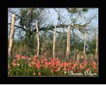 Wf 0120 indianpaintbrush thumb155 crop