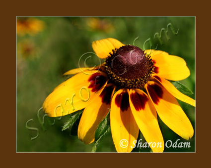 Yellow Texas Wildflower - WF0138C - Fine Art Print
