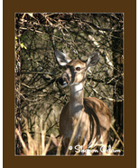 Texas Whitetail Deer - WL0068C - Fine Art Print - $17.50