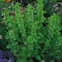75 fresh seeds Belles of ireland Sowing Molucella - $3.87