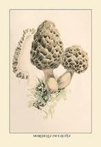 Morchella Esculenta by W. Hamilton Gibson - Art Print - $19.99+