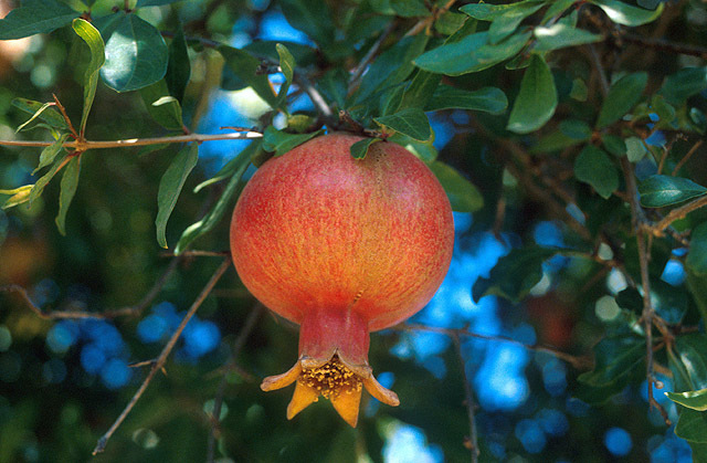 Russian Giant Pomegranate Fruit Tree Live Plant RARE