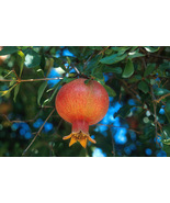 Russian Giant Pomegranate Fruit Tree Live Plant RARE - $39.99