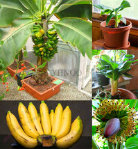 200PCS Banana Seeds, Dwarf Fruit Trees, Milk Taste Outdoor Perennial Fru... - $4.76