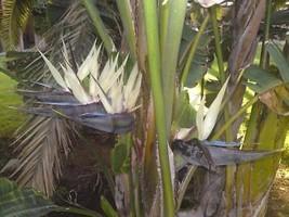 bird of paradise GIANT WHITE flower, house plant 7 seeds - $14.35