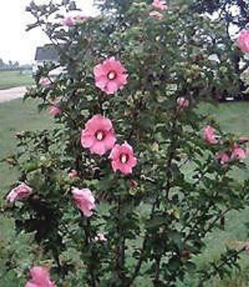 25 Heirloom  Rose of sharon shrubs{Hibiscus } seeds