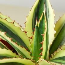 """Live Plant - Agave Quadricolor - 4"""" Pot - Garden - Houseplant - Outdoor Living - $55.99"""