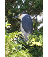 Black Crowned Night Heron 13 x 19 Unmatted Photograph - $35.00