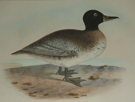 Original 1855 Antique Color Lithograph of a Black Head Duck - $30.00
