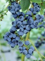 1 Gallon Pot  Onslow Blueberry Bush Hardy Perennial 1 Plant  FREESHIP - $81.00