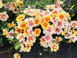 "Live Plant - RINGO Landscape Rose - Proven Winners - 4"" Pot - Gardening ... - $56.00"