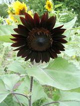 10 Seeds Black Sunflower Rare Saturated Color Beautiful Garden Flower Plants - $9.86