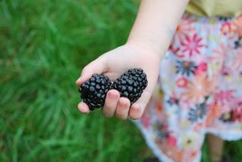 SHIPPED FROM US 2000 Bulk Giant Blackberry Triple Crown Fruit Seed, JK05 - $84.94