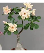 2pcs Very Beautiful 'Ge Linhua' Desert Rose Yellow Adenium Bonsai IMA1 - $14.97