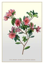 The Dwarf Crimson Chinese Azalea - Art Print - $19.99+
