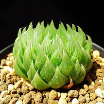 Succulent plants seeds 2pcs Haworthia mucronata seed very rare South Africa - $8.99