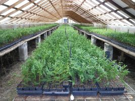 "Green Giant Arborvitae 3"" pot Thunja plicata image 8"