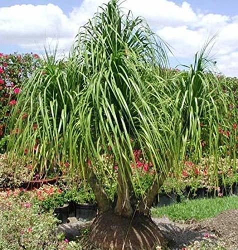 Primary image for 5 Red Ponytail Palm Beaucarnea
