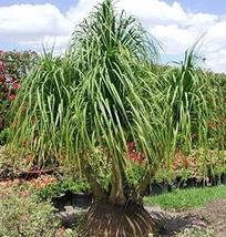 5 Red Ponytail Palm Beaucarnea - $28.71