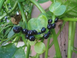 SHIP From US, 100 Seeds per pkt Malabar Spinach Seeds, Vegetable Seed AM - $216.99