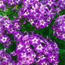 "1 Live Potted Plant phlox LAURA fragrant disease-resistant native 2.5"" pot  - $32.99"