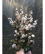 1g - Live Rooted New Zealand White Tea Tree Leptospermum Scoparium Pre Bonsai - $18.53