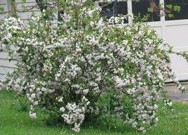 WHITE WEIGELA  (Weigela florida white) image 4