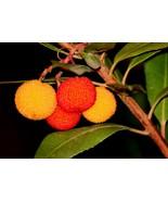 Arbutus unedo (Madroño) - Planta - $22.56
