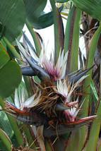 Gardening - Strelitzia Nicolai Giant Black Bird Of Paradise 16 Seeds - tgi - $41.95