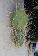 Opuntia sulphurea A-Clone Long White Curly Spines Cactus 1 Pad - $14.80