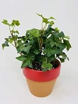 Clay Pot Baltic Ivy - $26.45