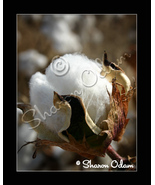 Cotton Boll - MS0069C - Fine Art Photography - $17.50