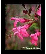 Pink Salvia - DF0042C - Fine Art Photography - $17.50