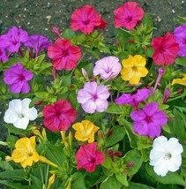 Non GMO Four O'Clock Mix Flower Seeds Mirabilis Jalapa (10 Lbs) - $189.04