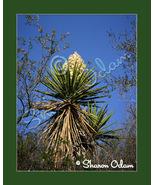 Texas Yucca - WF0136C - Fine Art Photography - $17.50