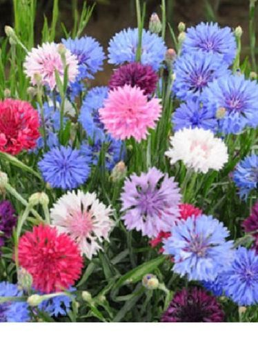 Primary image for SHIPPED From US, 150+ Bachelor Button Dwarf Polka Dot Mix Flower Seeds-SRD