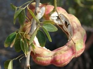 Pithecellobium dulce 10 seeds Fruit Tree Seeds Madras Thorn Manila tamarind D91