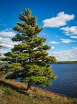 Eastern White Pine Tree Seeds | Pinus Strobus Seeds | 9 seeds - $22.90
