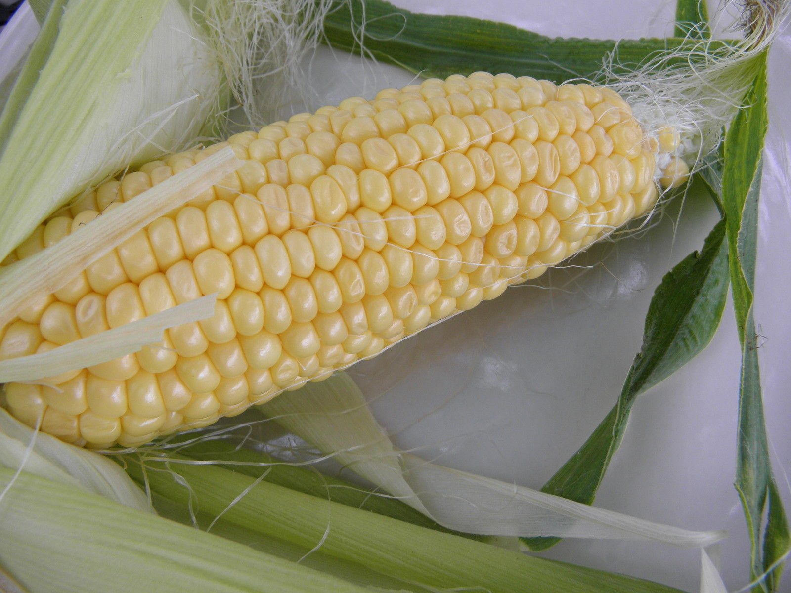 Buhl Sweet Corn - the finest and most uniform open-pollinated sweet corn