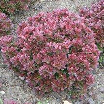 3 Starter Plants of Berberis Thunbergii Bagatelle - $138.60