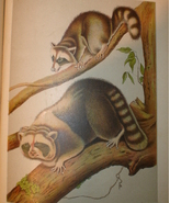 Antique 1899 print of Raccoons - $7.00