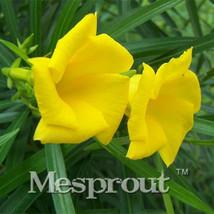 100pcs Thevetia Peruviana Seeds Thevetia Bonsai Flower Plant Seeds - $5.20