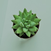 "LIVE SUCCULENT Sedeveria Fanfare 2"" potted plant - Echeveria Sedum hybrid"