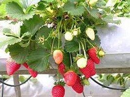 25 Strawberry One Time (Fragaria anannasa) Seeds - $6.93