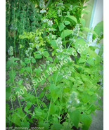 Killer Catnip Seeds! With FREE Instruction Card!  Boss Pacific NW Giant ... - $3.67