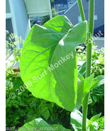 500 Virginia Tobacco seeds w/ FREE how to grow booklet! - $8.49