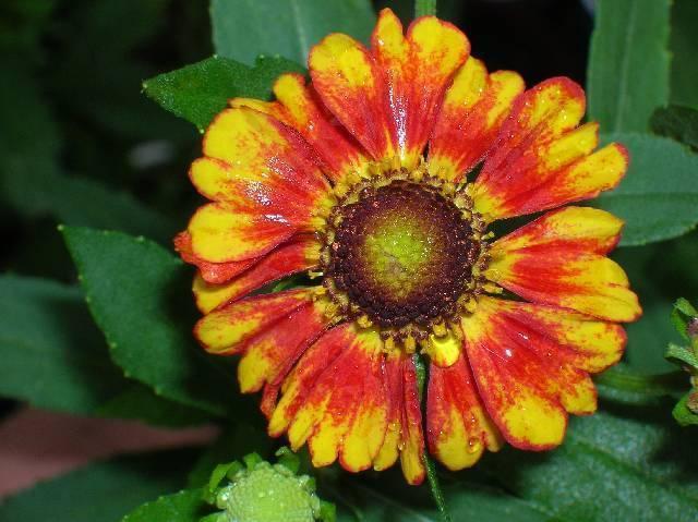 Organic Native Plant, Sneezeweed, Helenium auntumnal