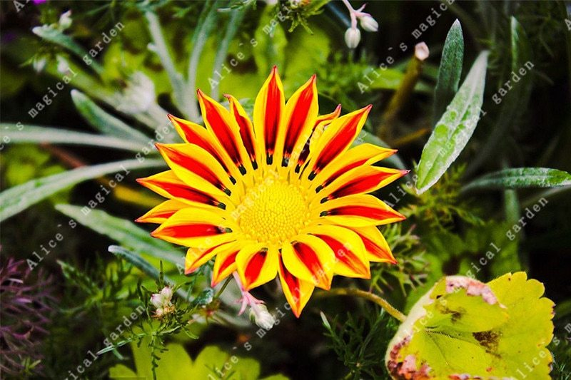 100 Pcs/bag Gazania Flower Bonsai Flower Seeds Garden Balcony Plant Semillas