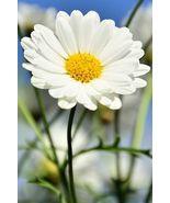 "800 Daisy Creeping Dwarf 8"" Tall Flower Seeds - $7.99"