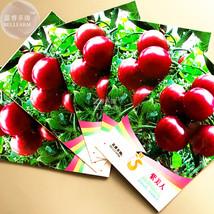 Purple Round Tomato Seeds, 5 packs, 20 seeds/pack, organic tasty sweet home gard - $8.95